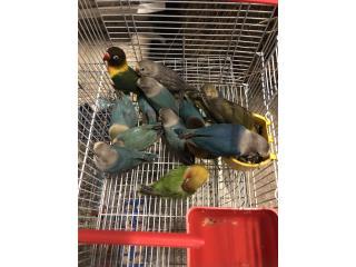 Love bird  Puerto Rico