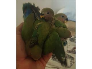LOVE BIRDS MANSITOS REGULARES BEBES Puerto Rico