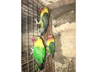 Lovebrid anillados  Puerto Rico