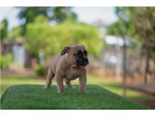 Puerto Rico Puppy pitbull bully , Perros Gatos y Caballos