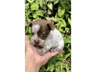 Puerto Rico Chihuahuas Toy, Perros Gatos y Caballos