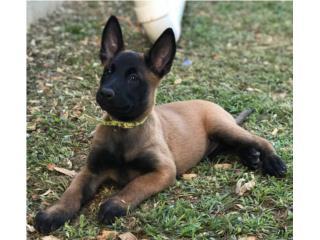 Puerto Rico Belgian Malinois , Perros Gatos y Caballos