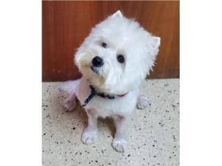Puerto Rico West Highland Terrier, Perros Gatos y Caballos