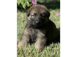 Puerto Rico German Shepherd Sable AKC, Perros Gatos y Caballos