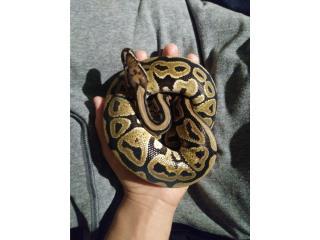 Ball python vanilla Puerto Rico
