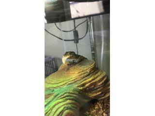 Cambio lagarto monitor Puerto Rico