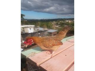 Kiri con moña cortita  Puerto Rico