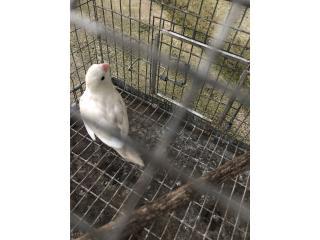 Lovebird macho Puerto Rico