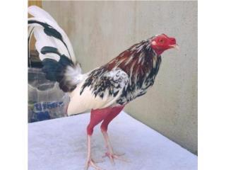 Gallos y pollos finos adelantos de trabajo  Puerto Rico