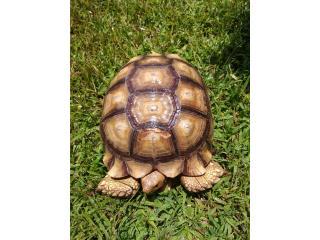 Se vende tortuga sulcata macho de 7 años Puerto Rico