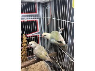 Excelentes parejas de Love birds Regulares. Puerto Rico