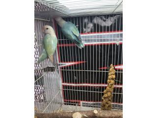 Venta Love birds Puerto Rico