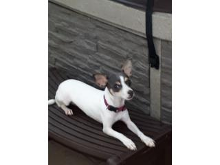 Chihuahua hembra 8 meses  Puerto Rico