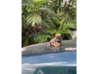 Chihuahua Toy Hembra   Puerto Rico