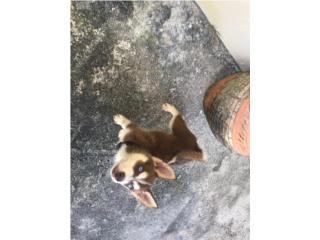 Pareja siberian husky 2 y 3 meses  Puerto Rico
