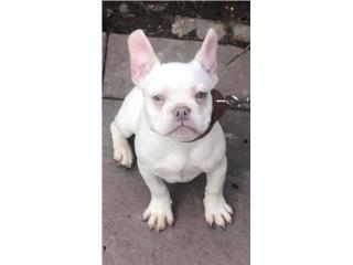 French bulldog Lilac Platinum para MONTAS Puerto Rico