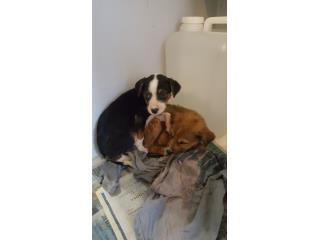 Perritos rescatados para adopción Puerto Rico