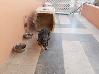 Se regalan 2 perras pequeñas Puerto Rico