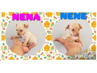 Chihuahuas nena y nene Puerto Rico