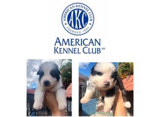 Puerto Rico GERMAN SHEPHERD PANDAS- AKC, Perros Gatos y Caballos