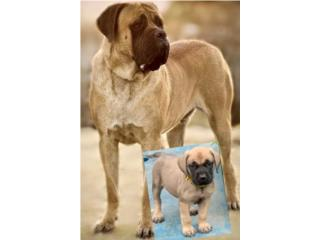 Puerto Rico English Mastiff puppies, Perros Gatos y Caballos