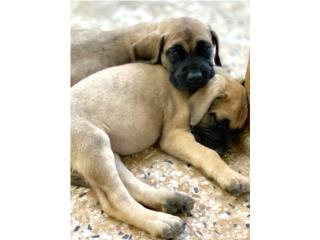 Puerto Rico English Mastiff, Perros Gatos y Caballos