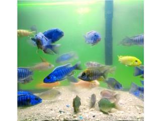 Variedad de peces ciclidos y tropicales Puerto Rico