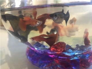 Preciosos peces guppys rojos y guppys negros Puerto Rico