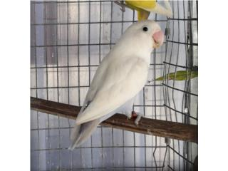 LOVE BIRD COBALTO DILUIDO  Puerto Rico