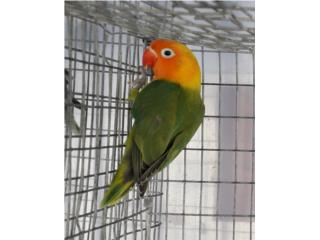 LOVE BIRD VERDE FISCHER PINTO POBRE Puerto Rico