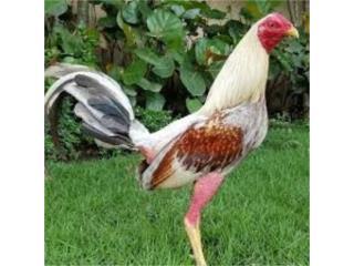 Pollos y gallos redy de pelea y medio cuido  Puerto Rico