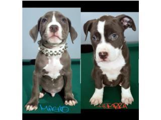 Puerto Rico PITBULL BLUE, Perros Gatos y Caballos