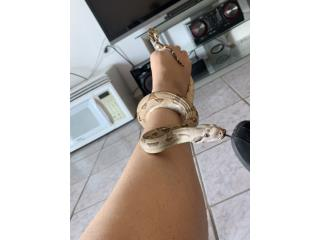 Boa red tail constrictor (3,5 pies) Puerto Rico