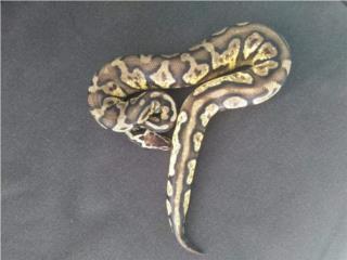 Ball python Puerto Rico
