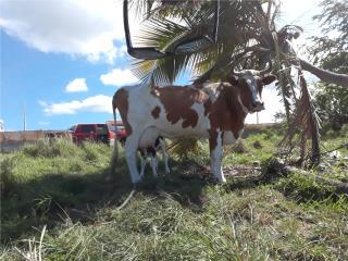 Vaca con 2 becerros Puerto Rico