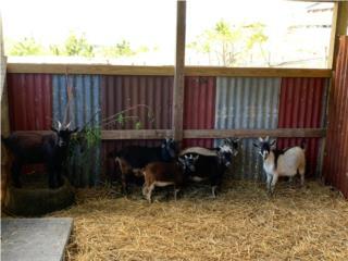 Vendo cabros machos enanos Puerto Rico