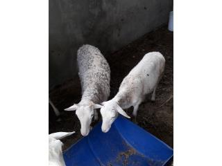 Pareja de ovejos $125 C/U  Puerto Rico