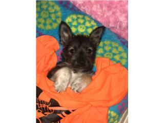 Perritos terrier en adopción  Puerto Rico