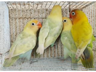Lovebirds yellow Puerto Rico