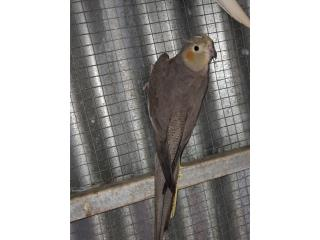 Cockatiel hembra  Puerto Rico