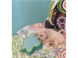 Hermoso puppy miniature schnauzer blanco  Puerto Rico