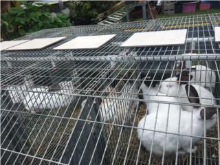 Venta de conejos californianos Puerto Rico
