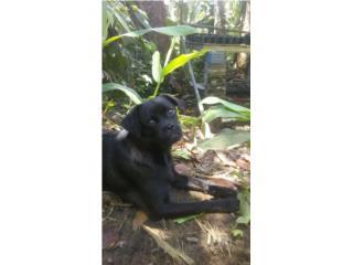 Amorosa perrita pug/sato gratis Puerto Rico