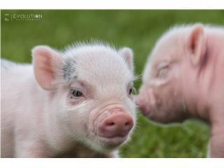 MINI PIGS  Puerto Rico