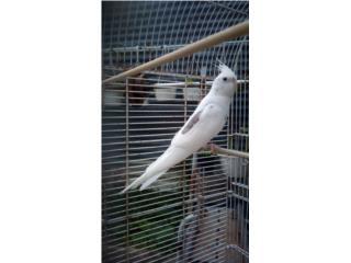 Lindo cockatiel macho Puerto Rico