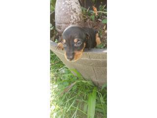 Puerto Rico Dachshunds- salchicha , Perros Gatos y Caballos