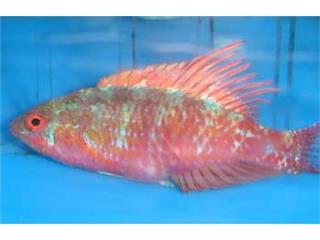 Venta peces agua dulce y salada  Puerto Rico