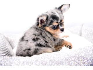 Puerto Rico Hollywood Chis Stunning Chihuahua, Perros Gatos y Caballos