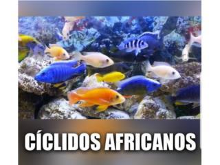 Ciclidos africanos  Puerto Rico