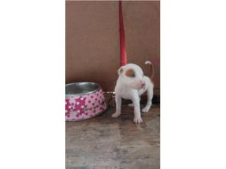 Pitbull Red nouse  Puerto Rico